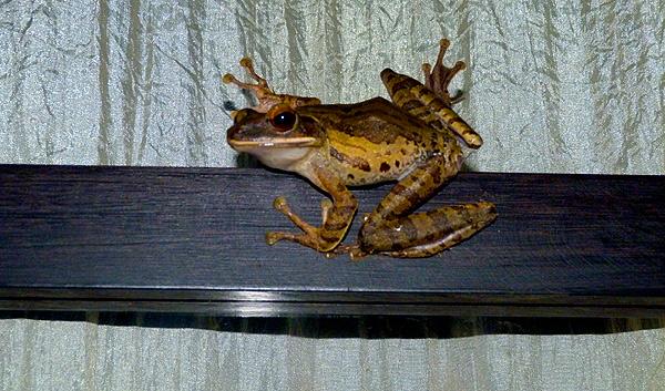bali frog