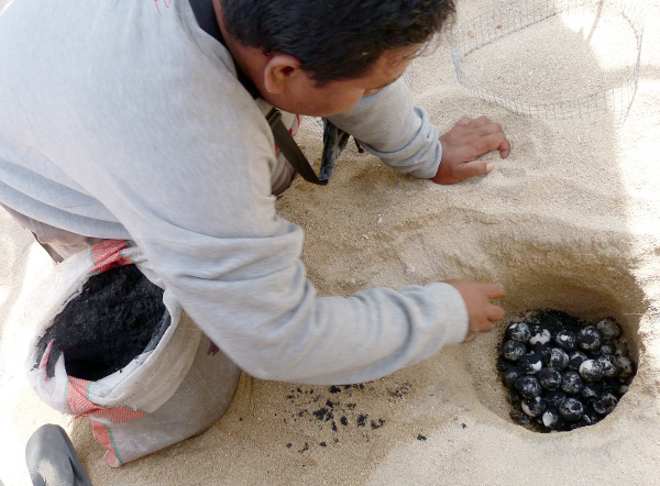 Transplanting eggs collected from the beach