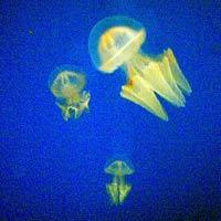 Jelly Fish at Melbourne Aquarium