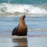 Seal on Kangaroo island