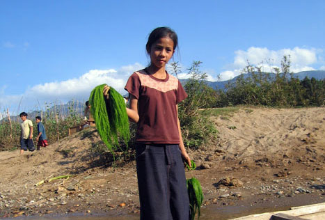 riverweed collector in Laos