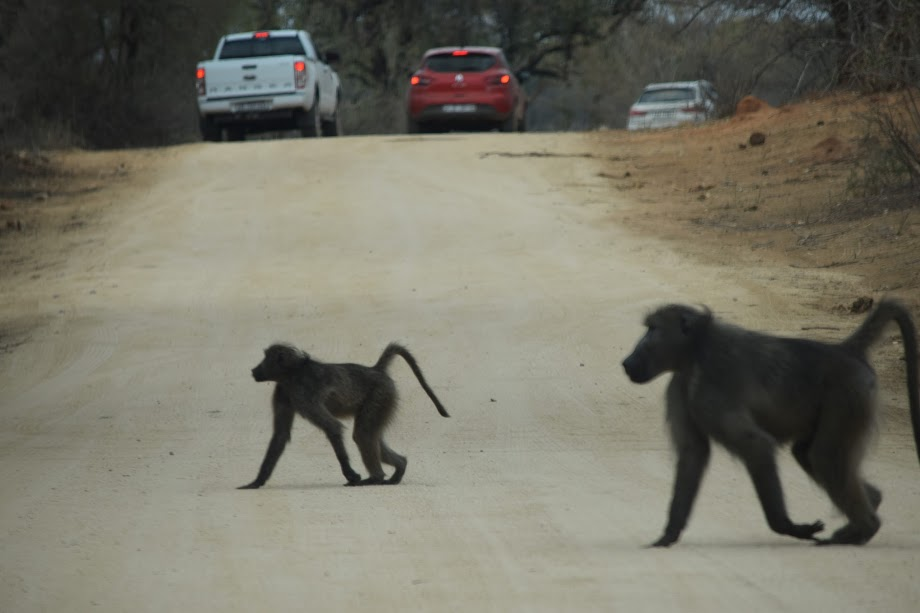 Beware the baboons in South Africa as they can open car doors