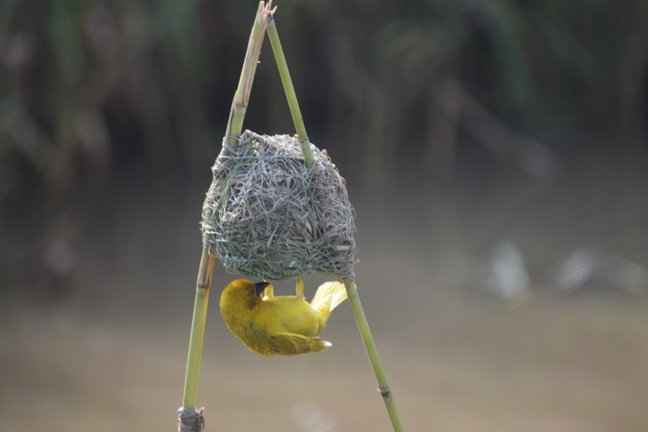 The Weaverbird in South Africa makes great nests