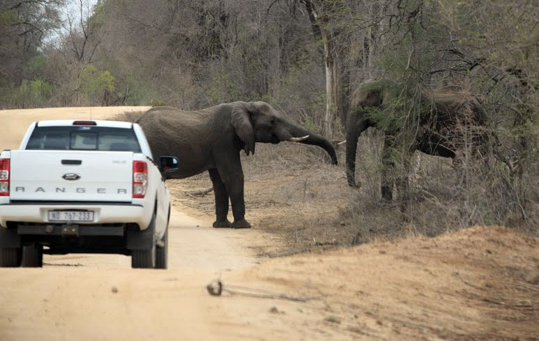 Elephants fighting next to the road in Kruger National Park, South Africa 2016