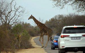 Giraffe crossing the road in Kruger National Park, South Africa 2016