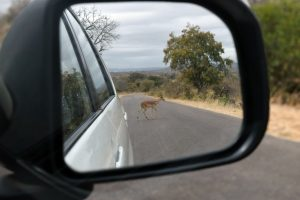 Impala behind us on the road in Kruger National Park, South Africa 2016
