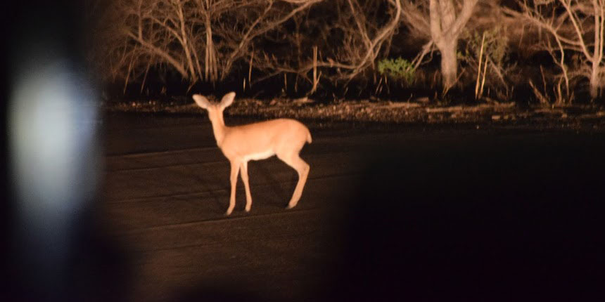 Impala at night on the road in Kruger National Park, South Africa 2016
