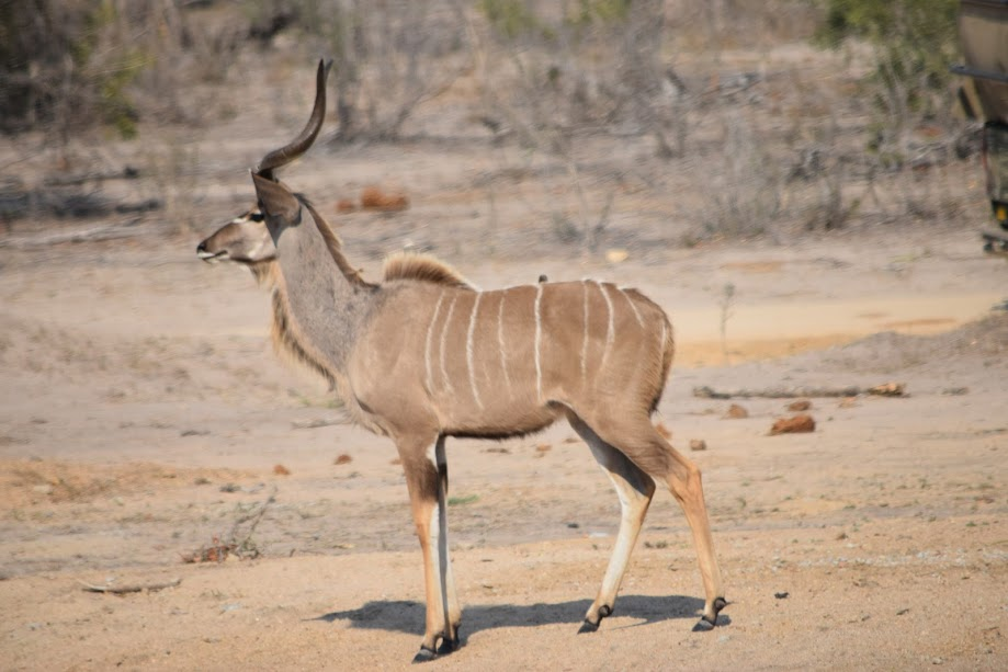 We saw lots of magnificent kudus when in Kruger, South Africa