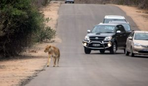 Lioness on the road in Kruger National Park, South Africa 2016
