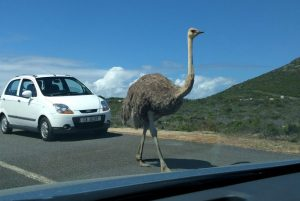 Ostrich on the road at Cape Point, Cape Town, , South Africa 2016