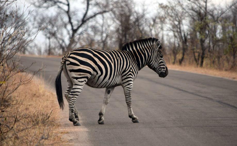 Zebra on the road in Kruger National Park, South Africa 2016