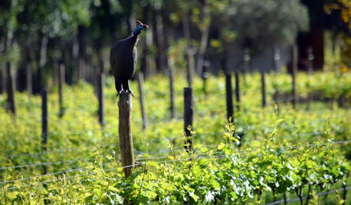The ubiquitous Guinea fowl