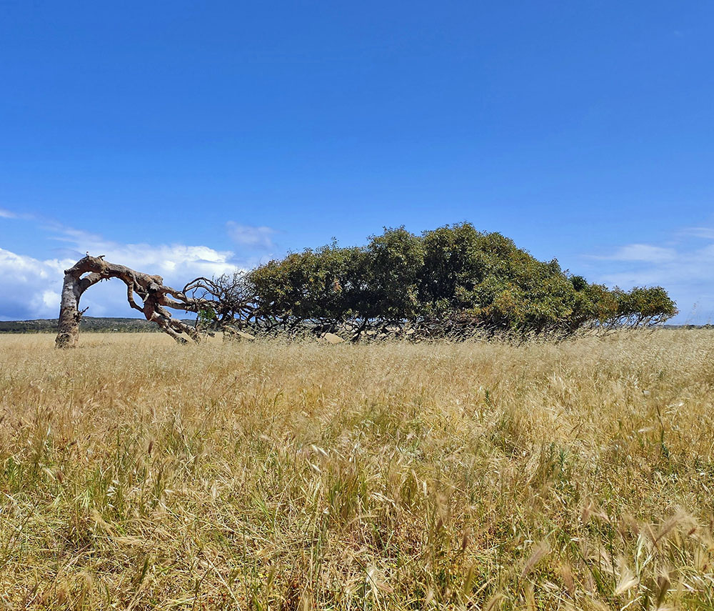Greenough Leaning Tree
