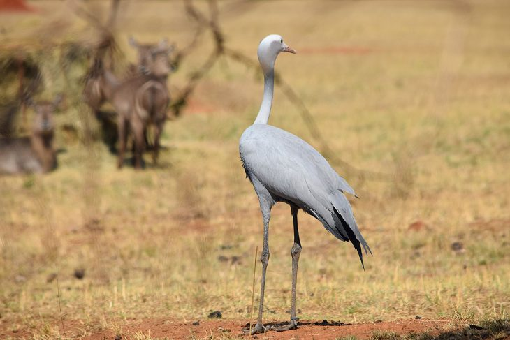 Large Stork
