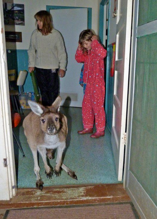 Kangaroo in the House