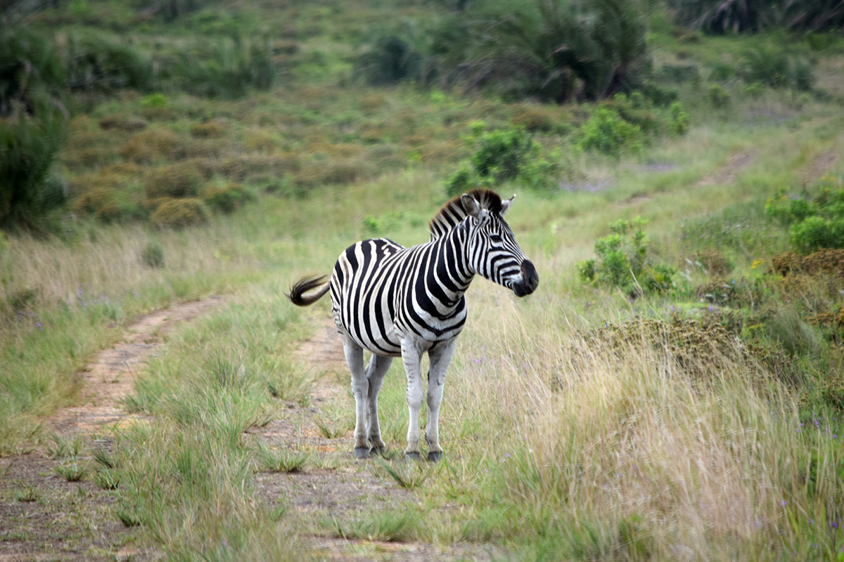 Isimangaliso Zebra Crossing